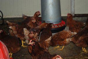 poules élevée en plein air, oeufs bio